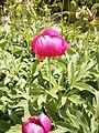 Paeonia arietina 01.jpg