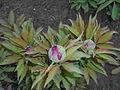 Paeonia mascula 2016-04-19 7726.JPG