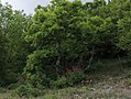 Paeonia peregrina, habitat.jpg