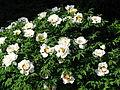 Paeonia suffruticosa cv. 14.JPG