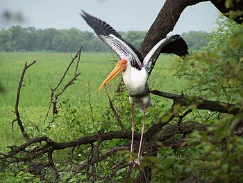 Painted Stork collecting sticks for Nesting.jpg
