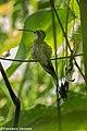 Pale-bellied Hermit - Darien - Panama (48444477702).jpg