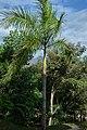 Palma real (Roystonea regia) (14520515892).jpg