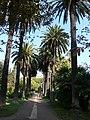 Palmeres - arbre d'interès local - Jardins de Vil·la Amèlia P1280094.jpg