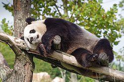 Panda géant au repos.jpg