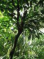 Pandanales - Pandanus tectorius var. australianus 5.jpg