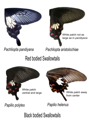 Papilio polytes - Comparison between similar-looking species - A. pandiyana, A. aristolochiae, P. polytes and P. helenus