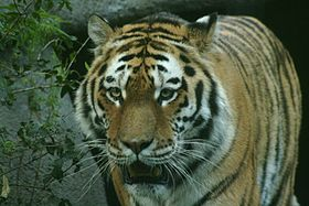 Photograph of a Siberian tiger.