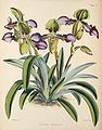 Paphiopedilum hirsutissimum (as Cypripedium h.) - Warner, Williams - Select orch. plants 1, pl. 15 (1862-1865).jpg