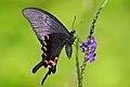 Papilio bianor thrasymedes female 20140412.jpg