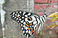 Papilio demoleus Lime Butterfly white and black (1).jpg