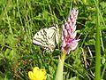 Papilio machaon 001.JPG