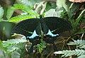 Papilio paris-Paris peacock.jpg