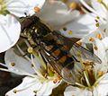 Parasyrphus punctulatus - Flickr - S. Rae.jpg