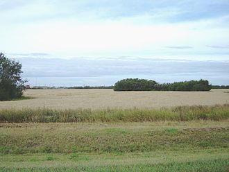 Saskatoon - Patches of aspen trees surrounded by wheat fields in the summer.