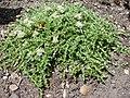 Paronychia kapela serpyllifolia (BG Wroclaw).JPG