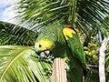Parrot-BVI 3.jpg