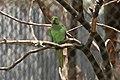 Parrot aka suga.jpg