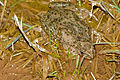 Parsley Frogs (Pelodytes punctatus) mating (16803726502).jpg