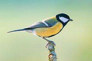 Männchen der Kohlmeise (Parus major)