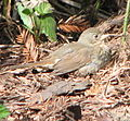 Passerella unalaschcensis, Tilden, Wildcat Creek, Albany, California 1.jpg