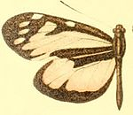 Patia rhetes hewitsoni female.JPG