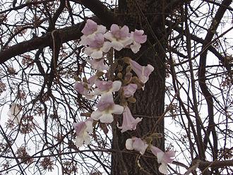 Paulownia - Paulownia fortunei flowers and bark