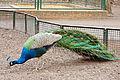 Pavo cristatus (Tierpark Berlin) - 1018-900-(118).jpg