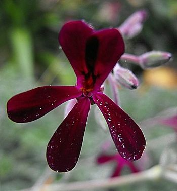 English: Pelargonium sidoides at Quail Botanic...