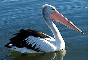 Australian pelican - Swimming