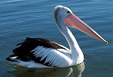 pelicans - HD1903×1294
