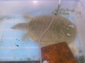 Pelodiscus-subwater.jpg