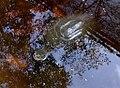Pelomedusa subrufa - Arusha botanical gardens 2.jpg