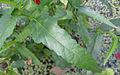 Pentapetes phoenicia 1.jpg