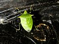 Pentatomidae sp - Flickr - gailhampshire.jpg