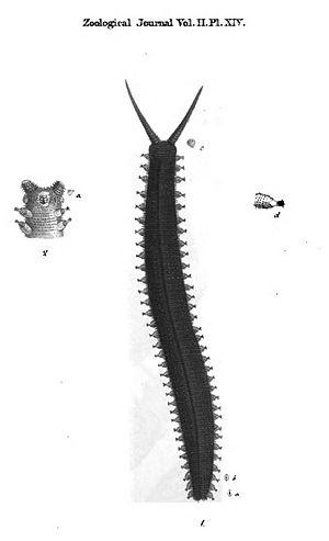 Peripatus juliformis - Original illustration from Guilding, L. (1826) Mollusca Caribbaeana. Zoological Journal 2: plate XIV.
