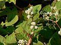 Persicaria chinensis (L.) H. Gross (1652928184).jpg