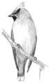 Pestvogel Bombycilla garrulus Jos Zwarts.tif