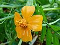 Petite fleur jaune trempée.JPG