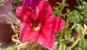 Petunia - Image: Petunia 5