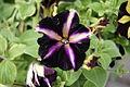 Petunien - Surfinia Bicolor Purple Blüte.JPG