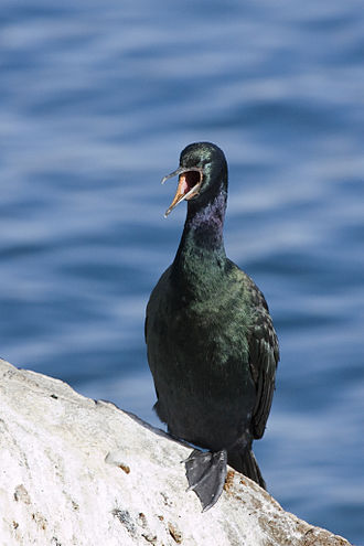 Pelagic cormorant - Nonbreeding adult P. p. resplendens on Morro Rock (California, United States)