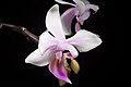 Phalaenopsis equestris (Mindanao type) (Schauer) Rchb.f., Linnaea 22 864 (1850) (46131697445).jpg