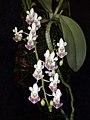 Phalaenopsis parishii toapel.jpg
