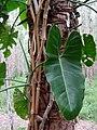 Philodendron acutatum Schott - Flickr - Alex Popovkin, Bahia, Brazil (18).jpg