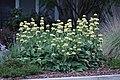 Phlomis russeliana IMG 0110.jpg