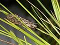 Phryganea grandis (42792096152).jpg