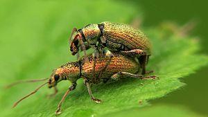 File:Phyllobius argentatus - 2012-05-19.webm