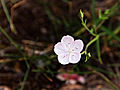 Piana Calanche Dianthus furcatus 1.jpg
