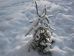 Picea 1.jpg